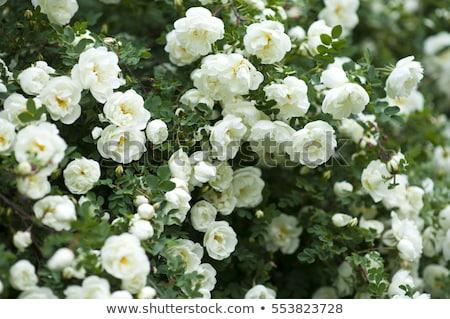 vibrante · aumentó · brote · Bush · Rose · Red · flor - foto stock © inxti