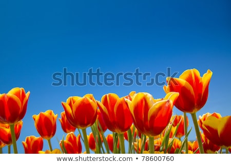 red tulips and blue sky   Stock photo © compuinfoto