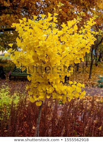 Ginkgo biloba tree branch with leafs Stock photo © lightpoet