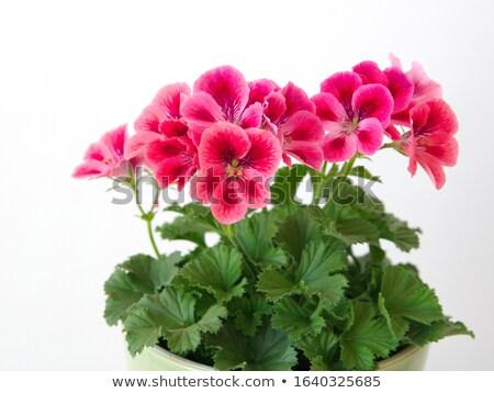 Pink bicolor geraniums Stock photo © mady70