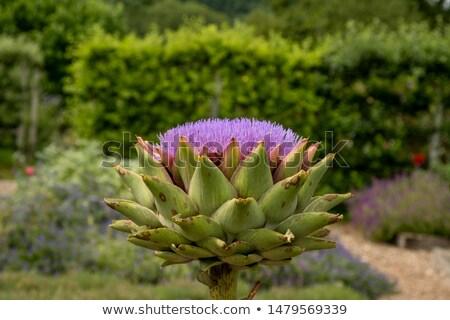Paars wereldbol veld boerderij hoofd plant Stockfoto © Digifoodstock