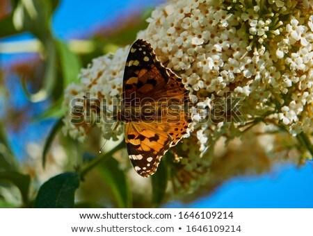 çalı kelebek yeşil çiçek yaz Stok fotoğraf © Koufax73