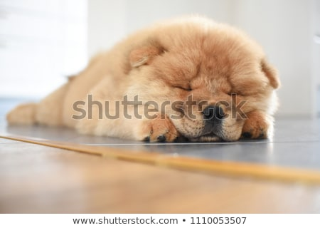chow chow looking in a studio Stock photo © vauvau