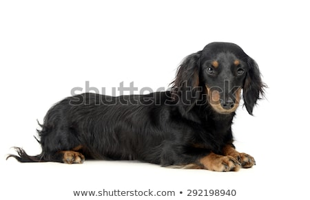lovely long hair dachshund lying in a photo studio stock photo © vauvau