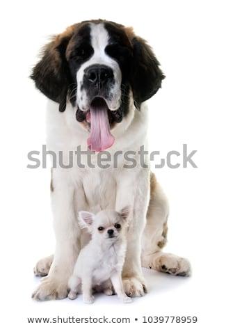 young saint bernard and chihuahua Stock photo © cynoclub