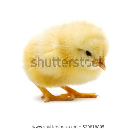 sarı · bebek · civciv · beyaz · grup · civciv - stok fotoğraf © CatchyImages