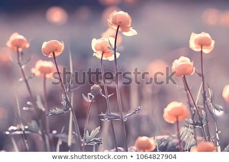 Rode bloemen heldere zon Rood bloemen groeiend Stockfoto © KMWPhotography