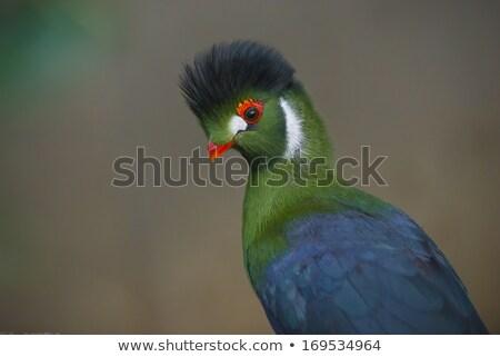 Гвинея сидят Буш птица Сток-фото © dirkr
