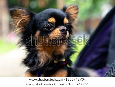 chihuahua sitting in a toy car in studio Stock photo © vauvau