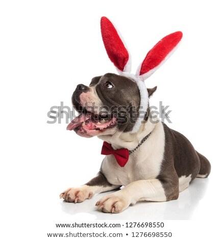 好奇心の強い 紳士 アメリカン 赤 ウサギ 耳 ストックフォト © feedough