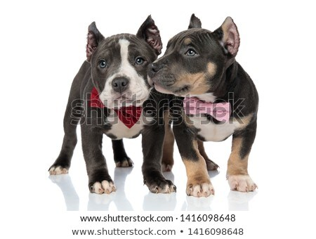 two curious american bully puppies wearing bow ties Stock photo © feedough