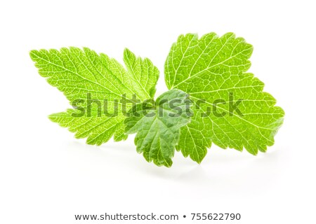 tea with currant leaves stock photo © peredniankina