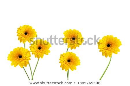 nat · Geel · witte · bloem · geïsoleerd · bloeien · bloemen - stockfoto © petrmalyshev