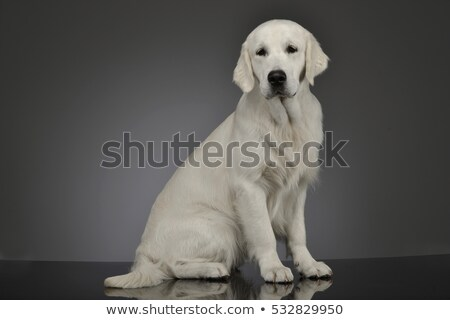 Sweet Golden Retriever in a gray studio background Stock photo © vauvau