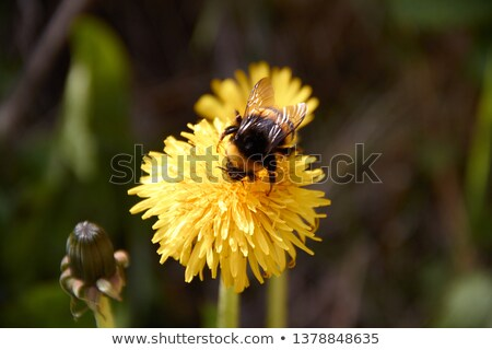 bumblebee on dandelion  Stock photo © inxti