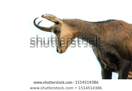 wild chamois Stock photo © tiero