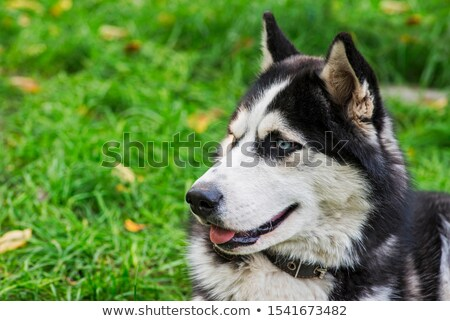 Cute dog outdoors against green lawn, looking cute with tongue out Stock photo © lightpoet