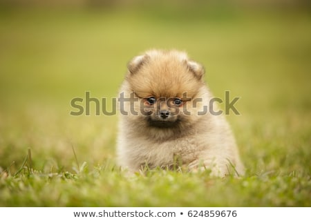 cute baby Pomeranian puppy stock photo © CatchyImages