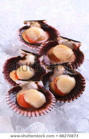 Raw Queen Scallop on Ice stock photo © ildi