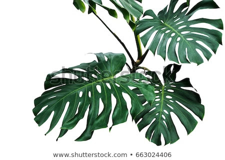 White and Green Leaves Stock photo © rhamm