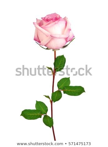 Stock fotó: Gyönyörű · rózsaszín · rózsa · váza · izolált · fehér · természet