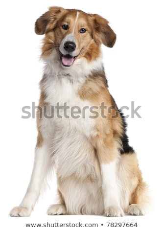two mixed breed dog portrait in a white backgound studio stock photo © vauvau