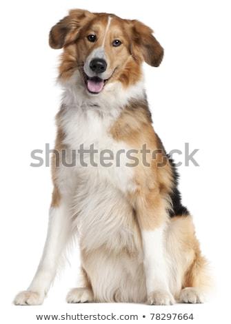 Dwa mieszany psa portret biały Zdjęcia stock © vauvau