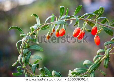 Chinese goji berries close up on white background Stock photo © ungpaoman