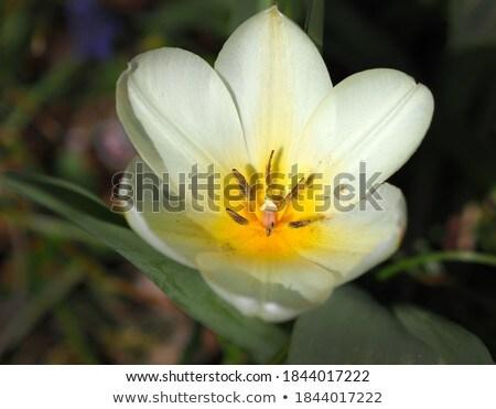 Witte tulpen naar boven Geel hart Stockfoto © duoduo