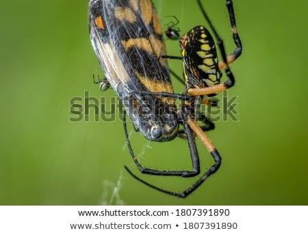 Spider веб в ожидании зеленый листьев черный Сток-фото © romvo