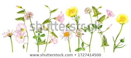 цветения · клевера · полях · красный - Сток-фото © pzaxe