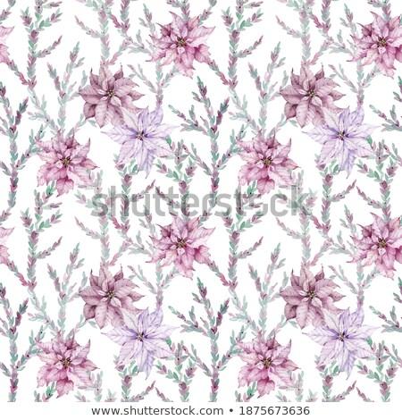 Violet Poinsettia Stock photo © derocz