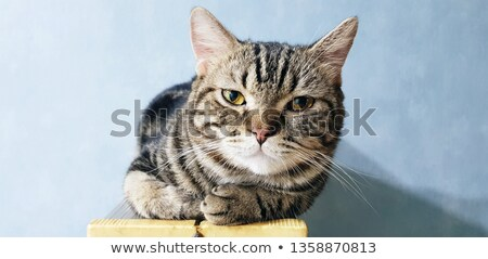 Bruin zwarte amerikaanse korthaar kat kitten Stockfoto © CatchyImages