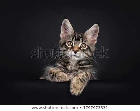 Handsome black tabby with white Maine Coon kitten on black Stock photo © CatchyImages