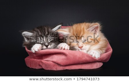 duo of 2 maine coon kittens on black stock photo © catchyimages
