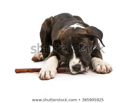 Studio shot of an adorable mixed breed dog with a bone Stock photo © vauvau