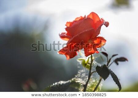 赤いバラ 露 値下がり 愛 庭園 背景 ストックフォト © Alkestida