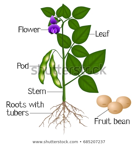 Soy plant beans with green leaves, flowers and pods. Vector Stock photo © LoopAll