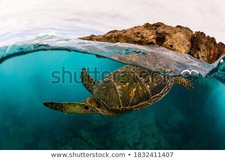 Wild green turtle diving in blue ocean waters of Hawaii. Turquoise sea background, natural wildlife Stock photo © Maridav