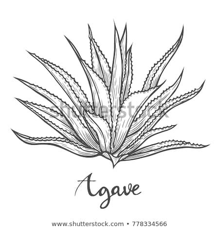 Agavé növény nyomtatott makró közelkép részlet Stock fotó © AlessandroZocc