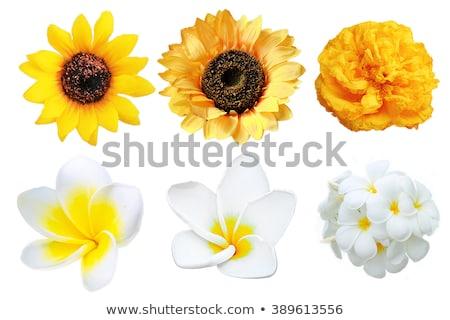 孤立した 黄色 花 白 春 自然 ストックフォト © Ansonstock