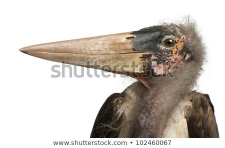 Isolated marabou stork Stock photo © Musat