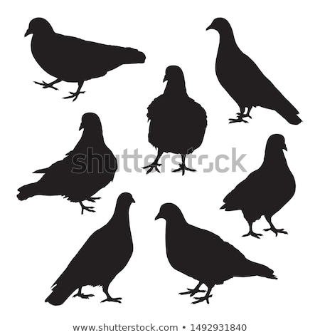 Stock photo: isolated pigeon silhouette