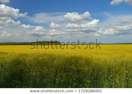 vibrant rapefield and blue sky stock photo © lypnyk2