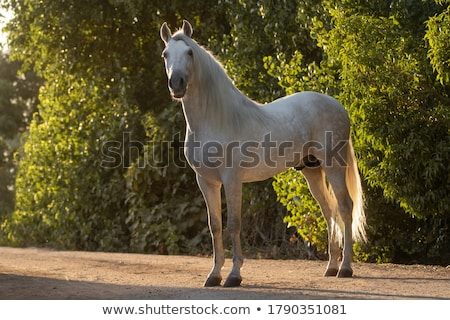 horse at the sunset stock photo © ajlber