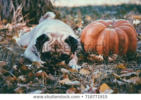 Pumpkin Doggy Stock photo © LynneAlbright