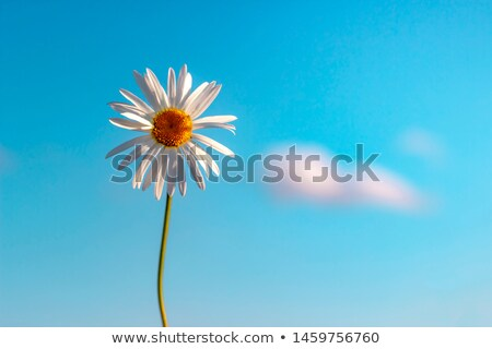 Ромашки Blue Sky солнечный свет небе природы лет Сток-фото © joseph73