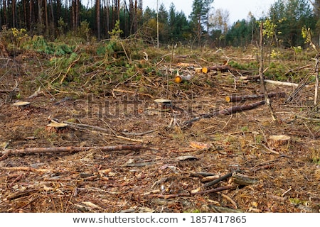 cut down and piled pine logs stock photo © velkol