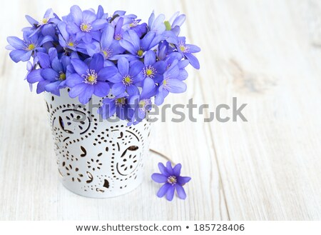 Blue wildflowers in a vase (Hepatica)  Stock photo © inarts