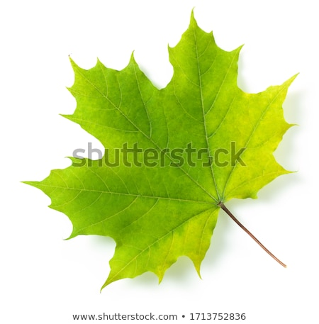 akçaağaç · yaprağı · bahar · soyut · dizayn - stok fotoğraf © lightsource